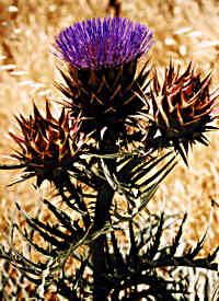 Kempster thistle
